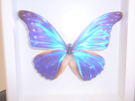 Hair Make Morpho